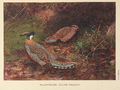 Yellow-necked Koklass Pheasant by George Edward Lodge.png