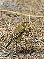 Yellow Wagtail (Motacilla flava) (27625456070).jpg