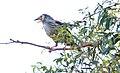 Yellow Wattlebird (Anthochaera paradoxa) (31280991371).jpg