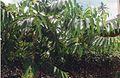 Ylang-ylang à Totorosa (3068085336).jpg