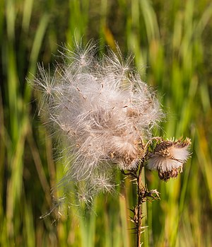 Seed Fluffs Cirsium vulgare in mild evening light.