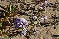 Zaluzianskya villosa (Scrophulariaceae) (23582809098).jpg