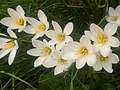 Zephyranthes candida in India.jpg