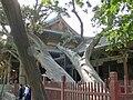 Zhou dynasty cypress trees.JPG