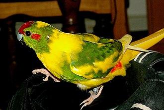 Red-crowned parakeet - Image: Ziegensittich gescheckt