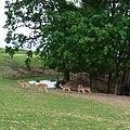 Zoo Tábor-Větrovy, daněk 01.jpg