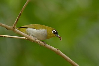 Black-crowned white-eye - Image: Zosterops atrifrons (6)