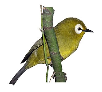 """Eye-ring - White-eyes are named for the conspicuous white eye-rings found in the majority of species. Their genus name Zosterops likewise means """"eye-girdle""""."""