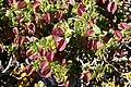 Zygophyllum morgsana = Roepera morgsana (Zygophyllaceae) (37414301556).jpg