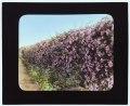 """Armsea Hall,"" Charles Frederick Hoffman Jr. house, Narragansett Bay, Newport, Rhode Island. Rose-covered wall LCCN2007685913.tif"