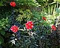 """Bishop of Llandaff"" Dahlia Victorian garden Quex House Birchington Kent England.jpg"