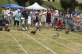 """""""They're off"""" at the annual Weiner Dog Races, part of the West Side Main Street Program and FestivAll Charleston on the grounds of a middle school in Charleston, West Virginia LCCN2015634237.tif"""