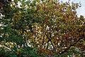 'Sorbus pohuashanensis' & Quercus - Beale Arboretum - West Lodge Park - Hadley Wood - Enfield London.jpg