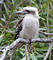 (1)Kookaburra 132.jpg