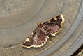 (1413) Gold Triangle (Hypsopygia costalis) (3694932175).jpg