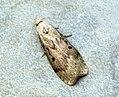 (1428) Bee Moth (Aphomia sociella) - Female (7278228114).jpg