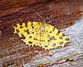 (1909) Speckled Yellow (Pseudopanthera macularia) (27497997844).jpg