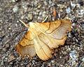 (1914) Dusky Thorn (Ennomos fuscantaria) (6005800269).jpg