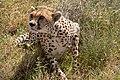 (Carnivora Felidae) Acinonyx jubatus, Gepard Cheetah (33356142358).jpg