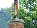 Čavka (Corvus monedula), Eurasian Jackdaw.jpg