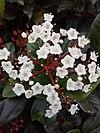Άνθη βιβούρνου του κοινού.jpg