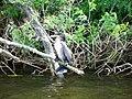 Великий баклан (Phalacrocorax carbo) балансує на гілці.jpg