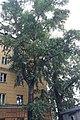 Два тополя на улице Чкалова.jpg