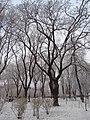 Декабрьский иней в парке Шевченко.jpg