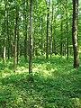 Дубово-грабовий ліс в ур. Хмільницька дача.jpg