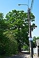 Дуб Красицького DSC 0931.jpg