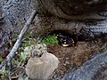 Карпатський національний природний парк, саламандра карпатська.jpg