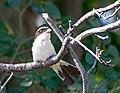 Красноголовый сорокопут - Woodchat Shrike - Lanius senator - Червеноглава сврачка - Rotkopfwürger (34894789004).jpg