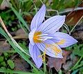 Крокус хорошенький - Crocus pulchellus - Hairy Crocus - Красив минзухар - Rosen-Herbst-Krokus (37844536672).jpg
