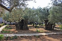 Оld Olive trees in the Garden of Gethsemane, 03.jpg