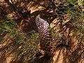 Рідкісна рослина-паразит Цістанхе (Cistanche deserticola), паразитує на коренях саксаулів (Halóxylon), Гобі.jpg