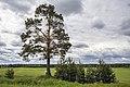 Сосна обыкновенная возле деревни Нижние Булдаки.jpg