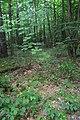 Сосново-дубові насадження DSC 0049.jpg