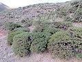 پوشش گیاهی گون از نوع کتیری دار در درقسمت شمالی روستای زالی در ارتفاعات کوههای شاه جهان عکس از احمد نیک گفتار 1398.jpg