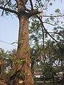 কাঁটা মান্দার গাছ সাভার erythrina fusca.jpg