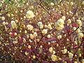 കാട്ടുപൂച്ചെടി-Alternanthera amoena.jpg
