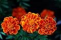 ดาวเรืองฝรั่งเศส ( French Marigolds ) (8).jpg