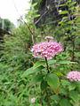 シモツケ(下野)(Spiraea japonica) (5966439128).jpg