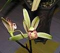 四季斑花 Cymbidium ensifolium 'Variegated' -香港沙田國蘭展 Shatin Orchid Show, Hong Kong- (12167782883).jpg