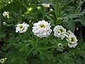 小白菊-重瓣 Tanacetum parthenium 'Flore Pleno' -波蘭 Krakow Jagiellonian University Botanic Garden, Poland- (36813569525).jpg