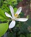 柑橘 Citrus reticulata -波蘭華沙 Powsin PAN Botanical Garden, Warsaw- (9204821387).jpg