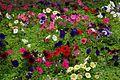 矮牽牛 Common Petunia - panoramio.jpg