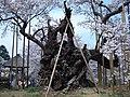 神代桜 - panoramio.jpg