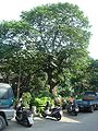 福祥公園的山黃麻老樹20100131.JPG