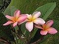紅雞蛋花 Plumeria rubra Rosy Dawn -新加坡植物園 Singapore Botanic Gardens- (9255248434).jpg