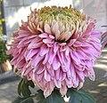 菊花-金項 Chrysanthemum morifolium 'Gold Necklace' -香港圓玄學院 Hong Kong Yuen Yuen Institute- (12099658156).jpg
